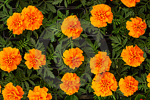 Orange Flowers Royalty Free Stock Image - Image: 13681836