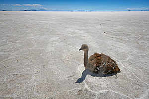 Rhea On Salt Flats In Bolivian Andes Royalty Free Stock Image - Image: 13685216