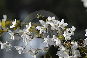 Cherry Blossoms Royalty Free Stock Photo - Image: 13692795