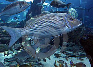 Big Fish Stock Images - Image: 13692984