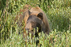 Cinnamon Black Bear Stock Photo - Image: 13694820