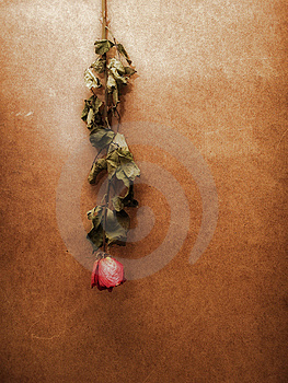 Dried Rose Royalty Free Stock Photos - Image: 13696528