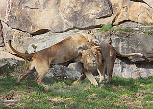 Cuddling Lion Couple Royalty Free Stock Image - Image: 13697046