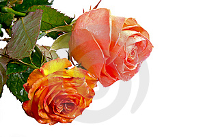 Roses Royalty Free Stock Photo - Image: 13698045