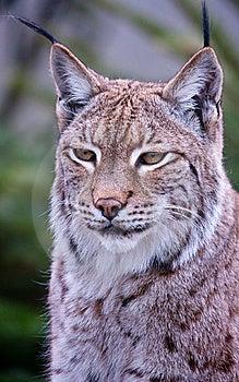 Fin De Chat Sauvage De Lynx Vers Le Haut Image stock - Image: 13698761