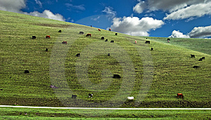 Cows Hillside Royalty Free Stock Photography - Image: 13698907