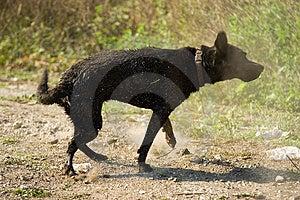 Black Labrador Shake Stock Photography - Image: 1373202
