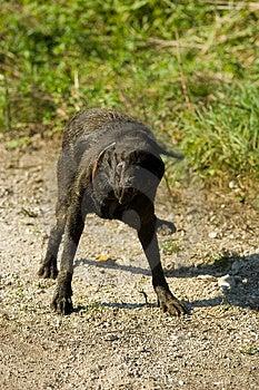 Black Labrador Shake Royalty Free Stock Image - Image: 1373226