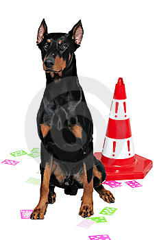 Black And Brown Doberman Royalty Free Stock Photography - Image: 13700857