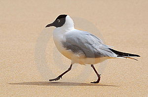 Gull And Sand Royalty Free Stock Photos - Image: 13701818