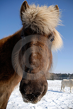 Icelandic Horse Stock Images - Image: 13705814