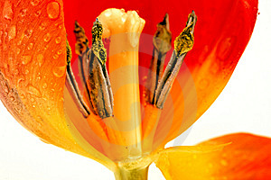 April Tulip Stock Photography - Image: 13707232