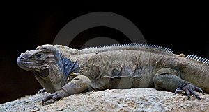 Dragon Lizard Royalty Free Stock Image - Image: 13707786