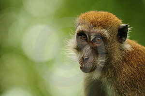 Curious Macaque Stock Photo - Image: 13708710