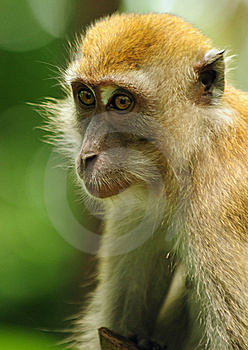 Macaque Royalty Free Stock Images - Image: 13708739