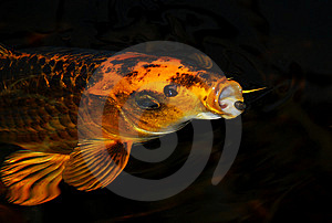 Feeding Koi Royalty Free Stock Photography - Image: 13714607