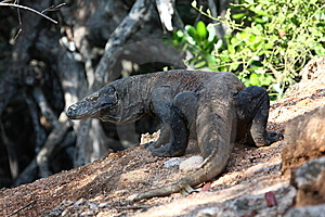 Komodo Dragon Royalty Free Stock Photo - Image: 13718865