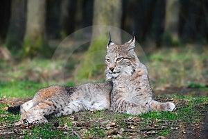 Eurasian Lynx (Lynx Lynx) Royalty Free Stock Photos - Image: 13719548
