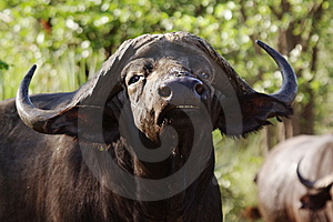Cape Buffalo Stock Photos - Image: 13722773