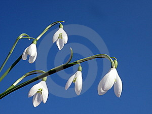 Snowdrops Royalty Free Stock Photos - Image: 13723498