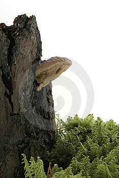 Fungus On Tree Royalty Free Stock Photos - Image: 13724978
