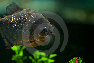Big Grey Aquarium Piranha Royalty Free Stock Images - Image: 13725249