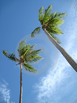 Palm Trees Royalty Free Stock Image - Image: 13733756