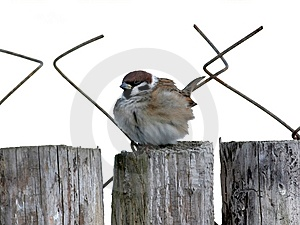 Feathery Sparrow At Winter Stock Images