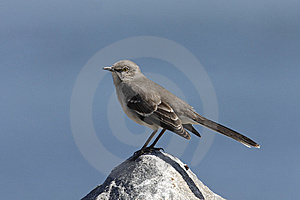 Northern Mockingbird (Mimus Polyglottos) Royalty Free Stock Photography - Image: 13737487