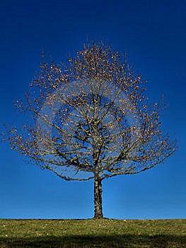 Solitary Tree Royalty Free Stock Photo - Image: 13738425