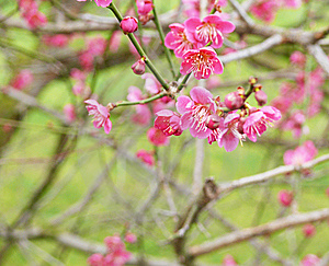 Spring Blossom Royalty Free Stock Photos - Image: 13738558