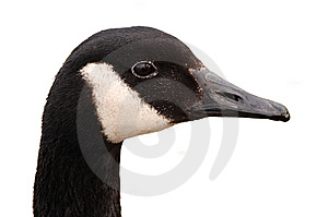 Canada Goose Head Isolated Stock Image - Image: 13740141