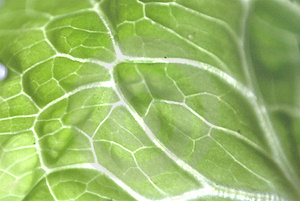 Cabbage Leave Royalty Free Stock Photography - Image: 13741237