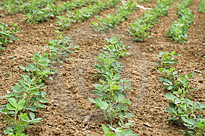 Peanuts Crop Royalty Free Stock Photos - Image: 13744048