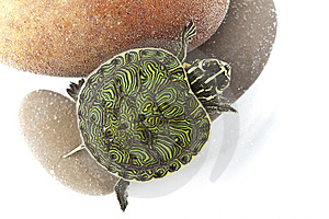 Turtle In Water Stock Photography - Image: 13744712