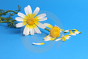Daisy Background Royalty Free Stock Photo - Image: 13745615
