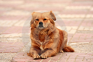 Yellow Dog Rest Stock Photos - Image: 13750323