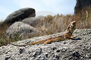 Lizard Royalty Free Stock Images - Image: 13752549