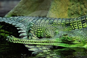 Indian Gavial Royalty Free Stock Photo - Image: 13753525