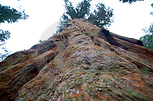 Giant Sequoia Tree Stock Images - Image: 13755364