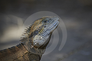 Monitor Lizard Or Iguana In Wild Stock Photo - Image: 13760530