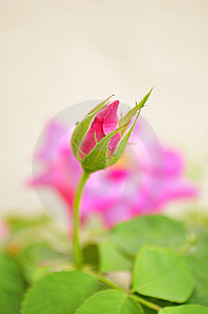 Rose Bud Royalty Free Stock Photos - Image: 13760758