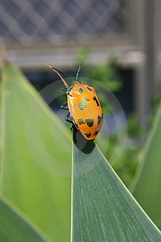 Coleoptera  Insect Royalty Free Stock Photo - Image: 13761625