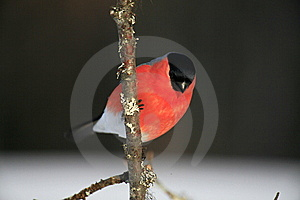 Bullfinch Stock Images - Image: 13762824