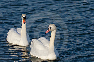 Two Lovers Swan Stock Photography - Image: 13768262
