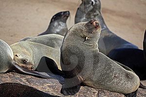 Cape Fur Seals, Skeleton Coast, Namibia Royalty Free Stock Photography - Image: 13769447