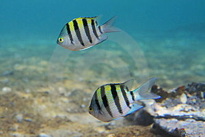 Sergeant Major Fishes Stock Photo - Image: 13769480