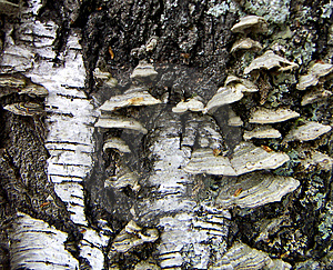 Mushrooms On A Birch Stock Images - Image: 13769634