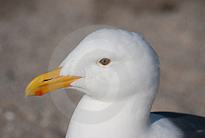 Seagull Stock Photos - Image: 13772133