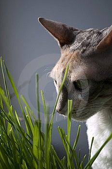 Cornish Rex Cat In Grass Stock Images - Image: 13773074